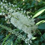 Black Cohosh Root has properties similar to estrogen.