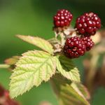 Red Raspberry Leaf plant compound Fragarine relieves premenstrual symptoms.